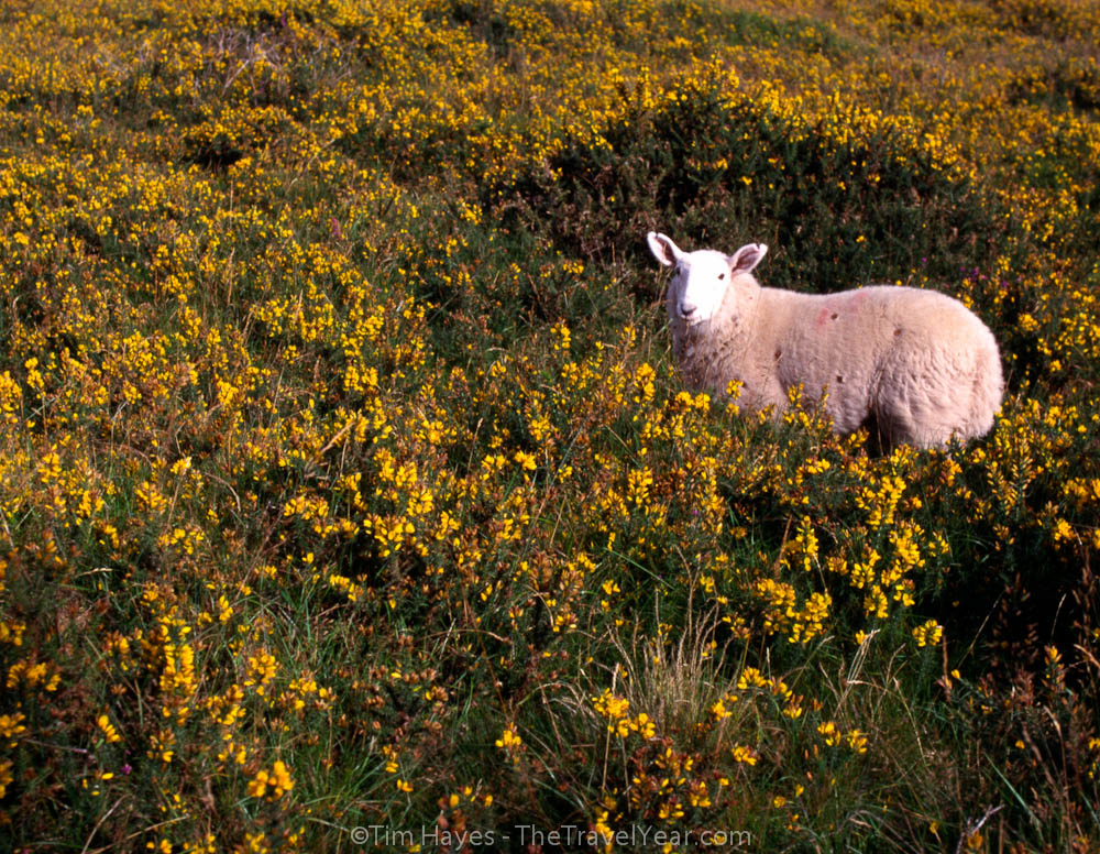 Thetravelyear photos sheep and sky a sheep looks curiously onward in the middle of a green irish hill covered in yellow mightylinksfo Images